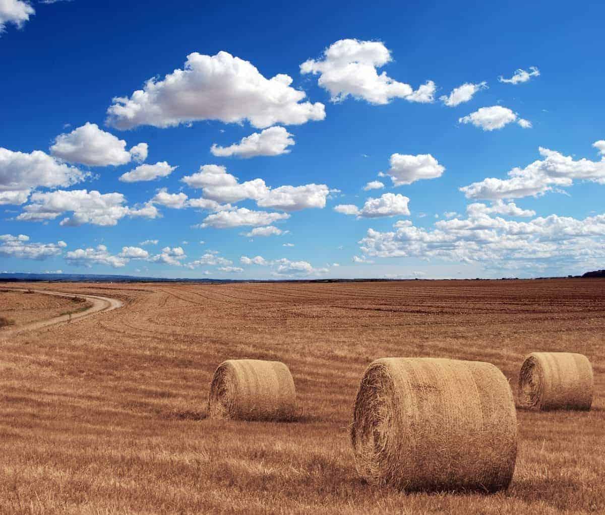Pole pszenicy z glutenem